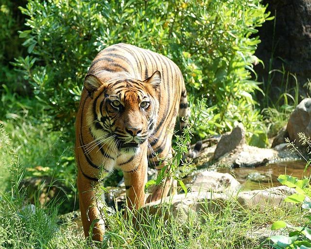 tiger-8057_640
